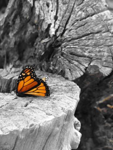 monarch-2-1364654