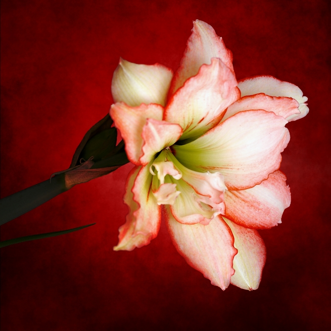 passion-flower-amaryllis-2-1389512.jpg