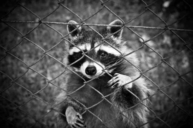 raccoon-1612593_1920